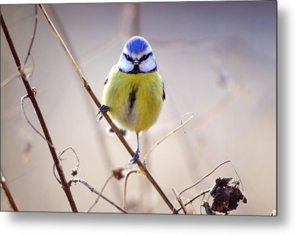 Blue Tit Metal Print by Science Photo Library