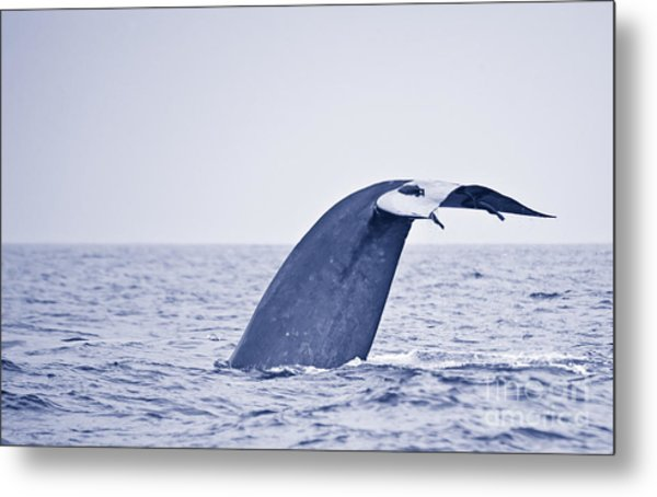 Blue Whale Tail Fluke With Remoras Metal Print
