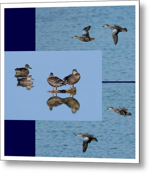 Blue Winged Teal Metal Print