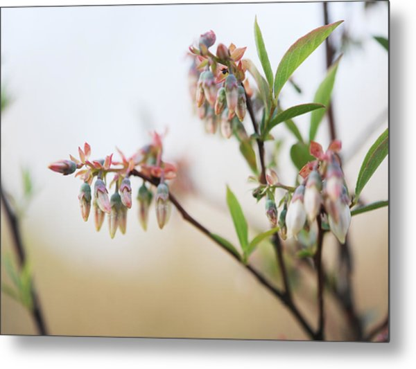 Blueberry Bush Metal Print by Giffin Photography
