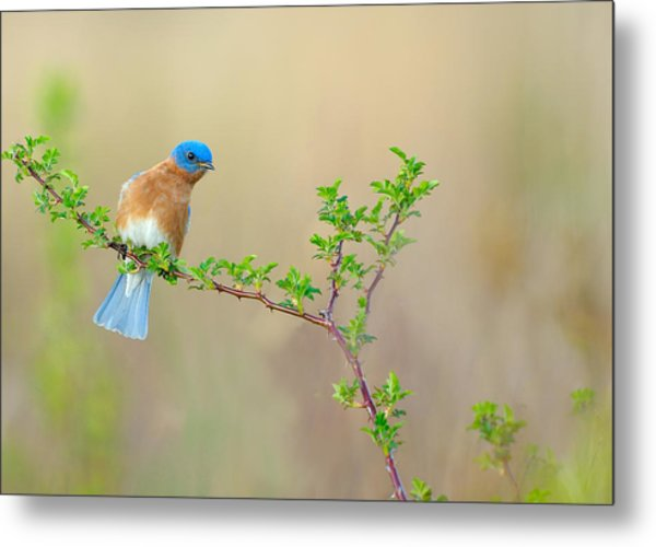 Bluebird Breeze Metal Print