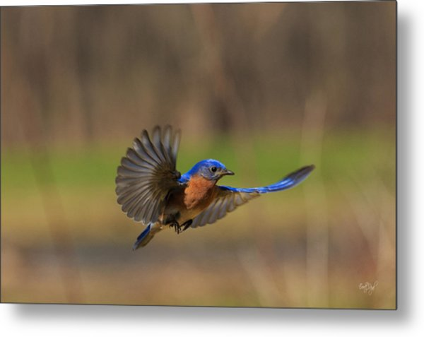 Bluebird In Flight Metal Print