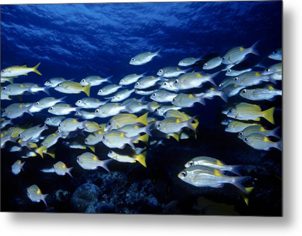Bluelined Snappers And Yellowspot Emperors Metal Print