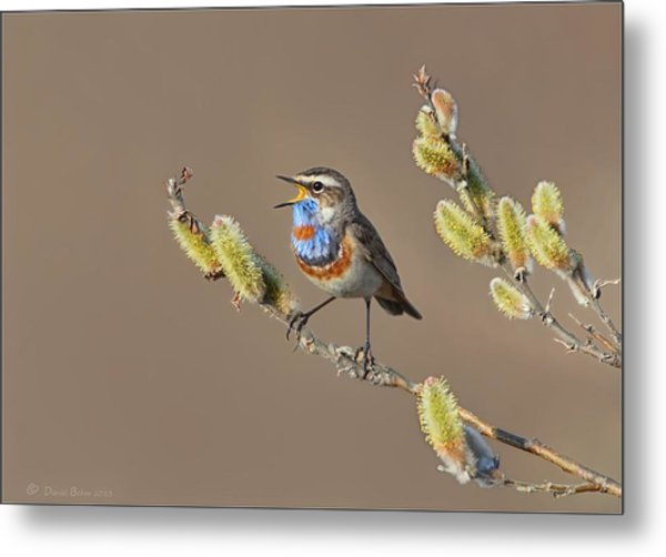 Bluethroat Metal Print
