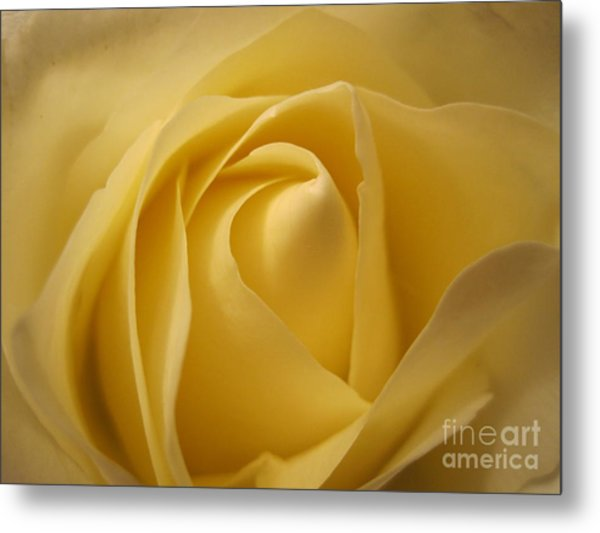 Blushing Cream Rose  Metal Print