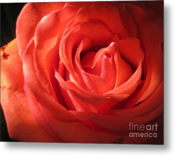 Blushing Orange Rose 1 Metal Print