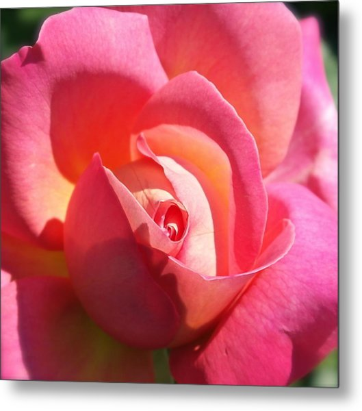 Blushing Rose Metal Print