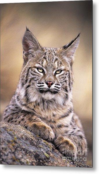 Bobcat Cub Portrait Montana Wildlife Metal Print
