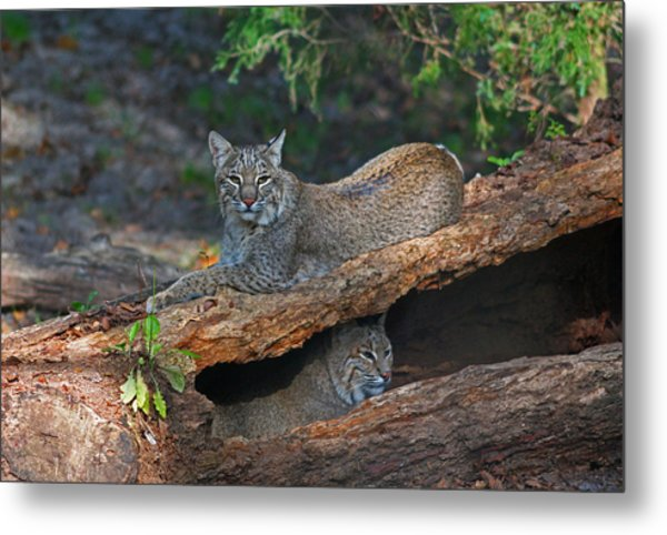 Bobcats At Rest Metal Print
