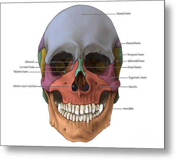 Parietal Bone Art Page 2 Of 3 Fine Art America