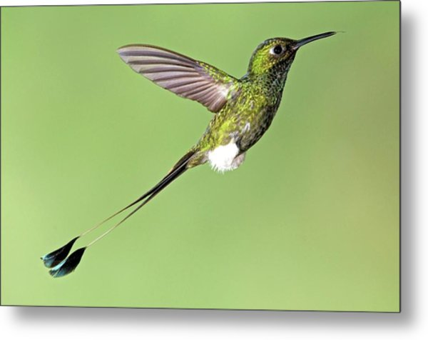 Booted Racket-tail Hummingbird Metal Print by Tony Camacho/science Photo Library