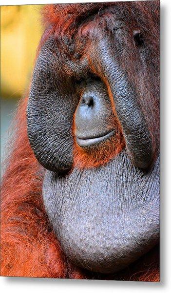 Bornean Orangutan Vi Metal Print
