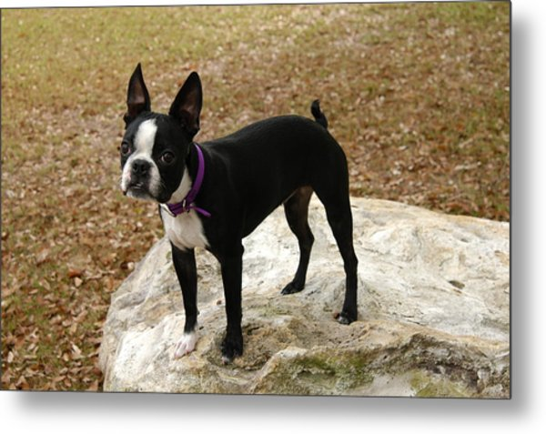 Boston Terrier On The Rock Metal Print