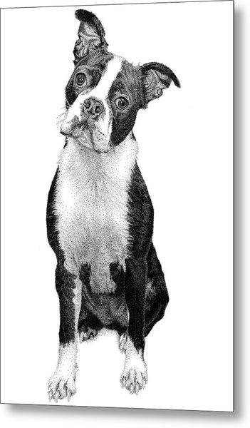 Boston Terrier Metal Print by Rob Christensen