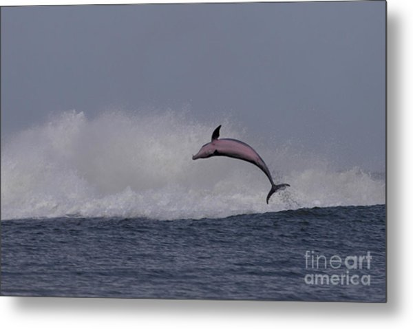 Bottlenose Dolphin Photo Metal Print
