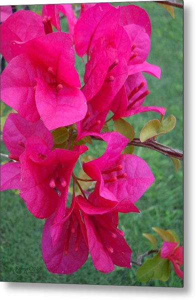 Bougainvillea Dream #2 Metal Print