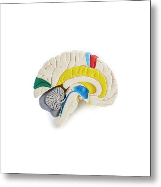Brain Anatomy Model Metal Print