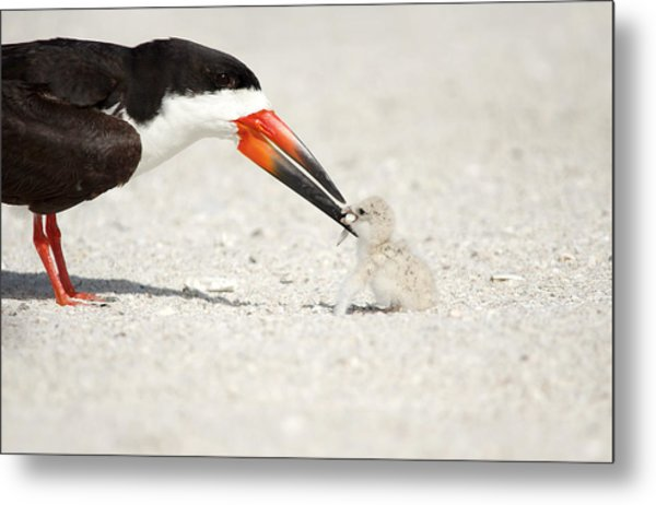 Black Skimmer And Chick. Metal Print