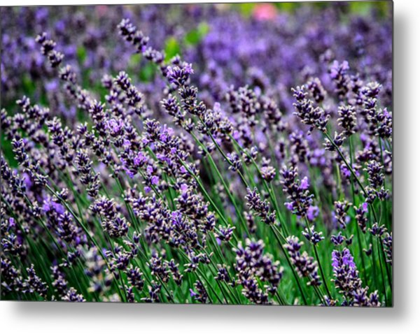Breath Of Lavender Metal Print by CarolLMiller Photography