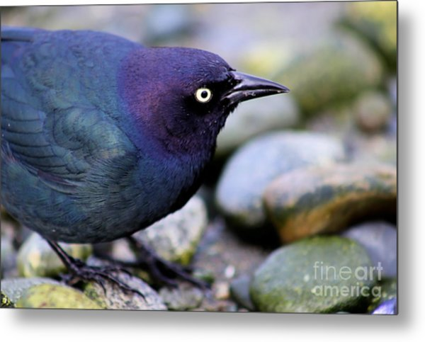 Brewers Blackbird Metal Print