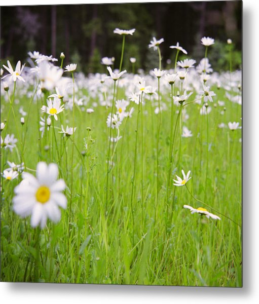 Brilliant Daisies Metal Print