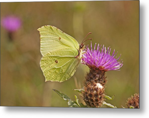 Brimstone On Creeping Thistle Metal Print