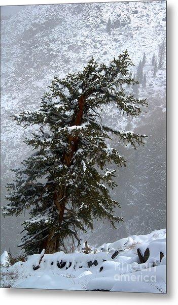 Bristlecone Pine In Snow Metal Print