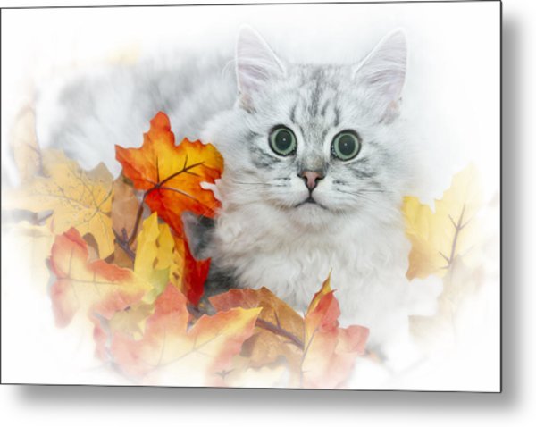 British Longhair Cat Metal Print