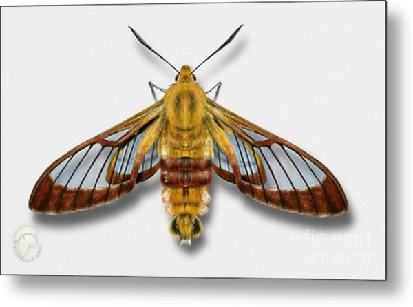 Broad-bordered Bee Hawk Moth Butterfly - Hemaris Fuciformis Naturalistic Painting -nettersheim Eifel Metal Print