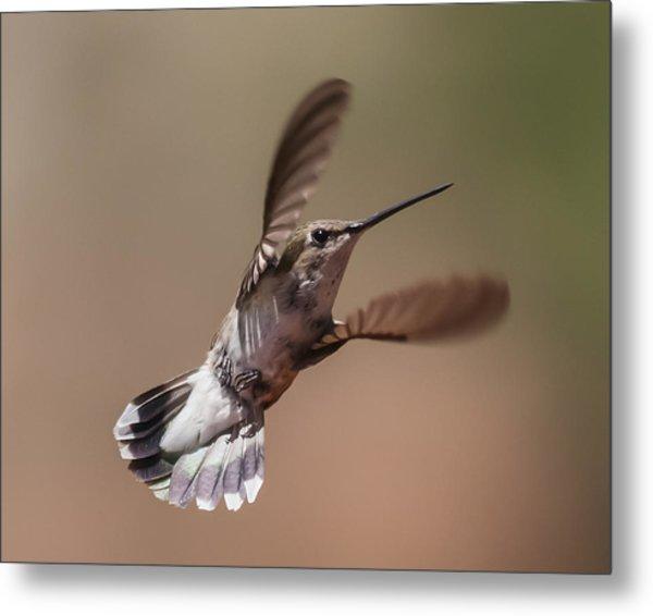 Broad-tailed Hummingbird 2 Metal Print