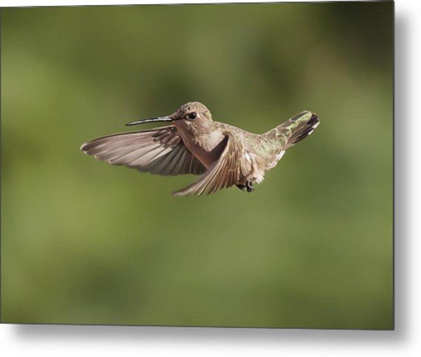 Broad-tailed Hummingbird 3 Metal Print