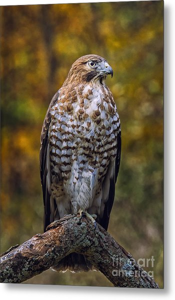 Broad Winged Hawk Metal Print by Todd Bielby