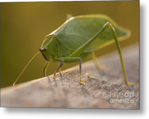 Broad-winged Katydid Metal Print