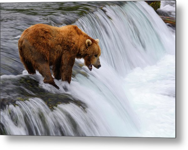 Brown Bear At Brooks Falls Metal Print by Naphat Photography