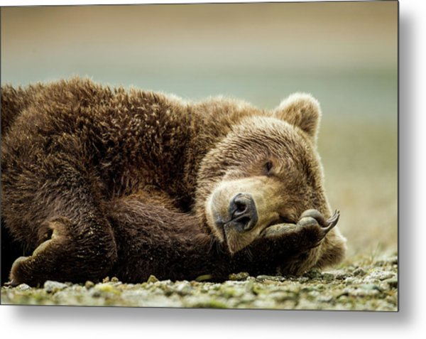 Brown Bear, Katmai National Park, Alaska Metal Print by Paul Souders