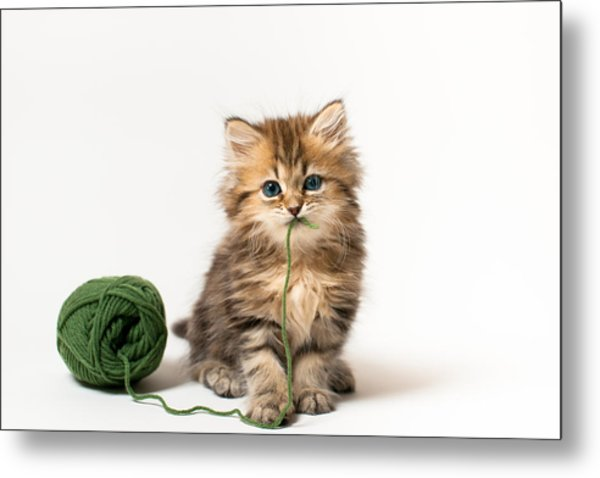 Brown Blue-eyed Kitten With Green Wool In Mouth Metal Print by Benjamin Torode