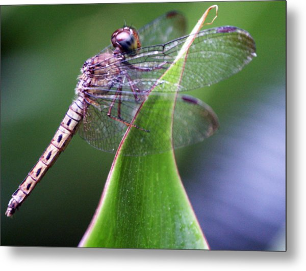 Brown Dragonfly Metal Print