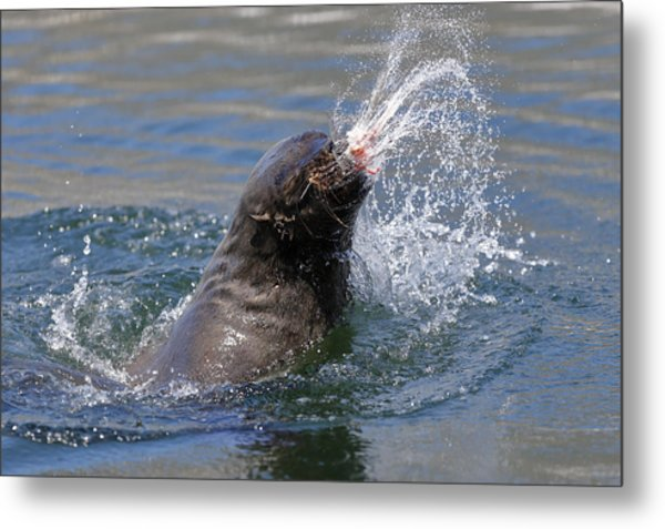 Brown Fur Seal Throwing A Fish Head Metal Print