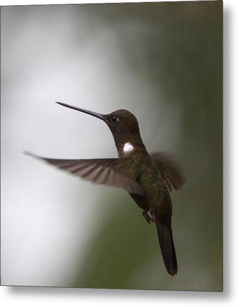 Brown Inca Hummingbird Metal Print