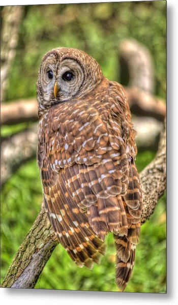 Brown Owl Metal Print