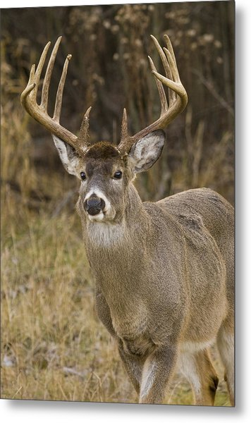 Buck Approaching Metal Print