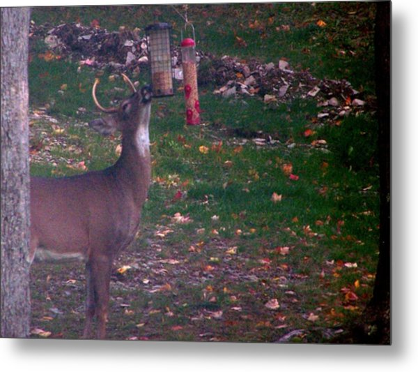 Buck Checking Out Birdseed Metal Print by Lila Mattison