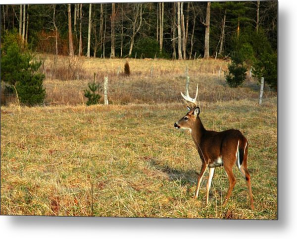 Buck In Cades Cove Metal Print by John Saunders
