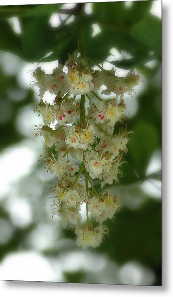 Buckeye Tree Bloom Metal Print