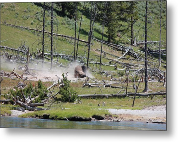 Buffalo Dust Bath Metal Print