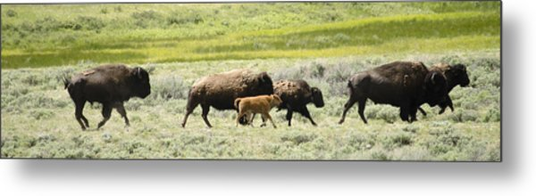 Buffalo Family Metal Print