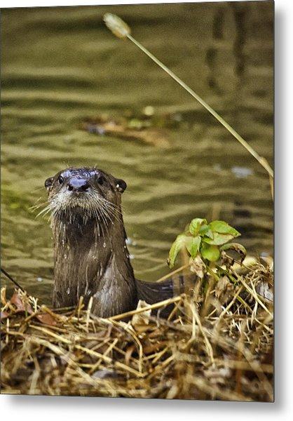 Buffalo National River Otter  Metal Print