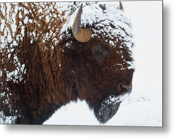 Buffalo Nickel Metal Print