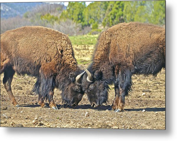 Buffaloes At Play Metal Print