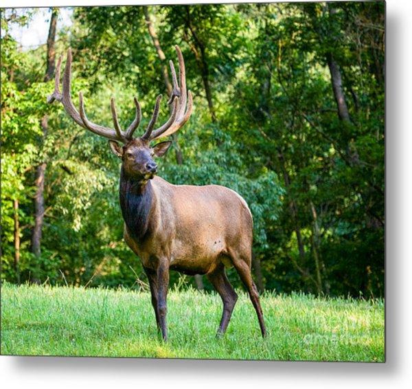 Bull Elk Metal Print